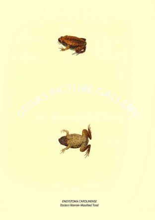 ENGYSTOMA CAROLINENSE - Eastern Narrow-Mouthed Toad